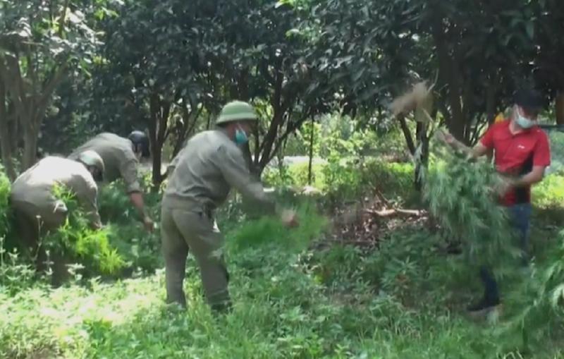Phát hiện 1 người Pháp trồng 115 cây cần sa ở bãi giữa sông Hồng - ảnh 1