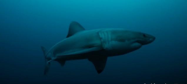 Con cá mập trắng dài gần 3m bị sinh vật bí ẩn ăn thịt dã man - ảnh 1