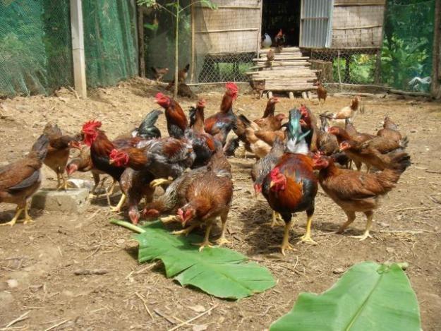 Phát hiện chất tạo màu vàng trong thịt gà có thể gây ung thư - ảnh 2