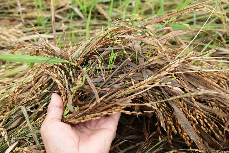 Ninh Thuận: Mưa lớn gây thiệt hại cho người trồng lúa - ảnh 3