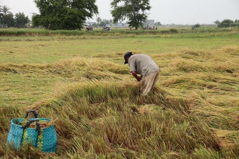 Ninh Thuận: Mưa lớn gây thiệt hại cho người trồng lúa - ảnh 1