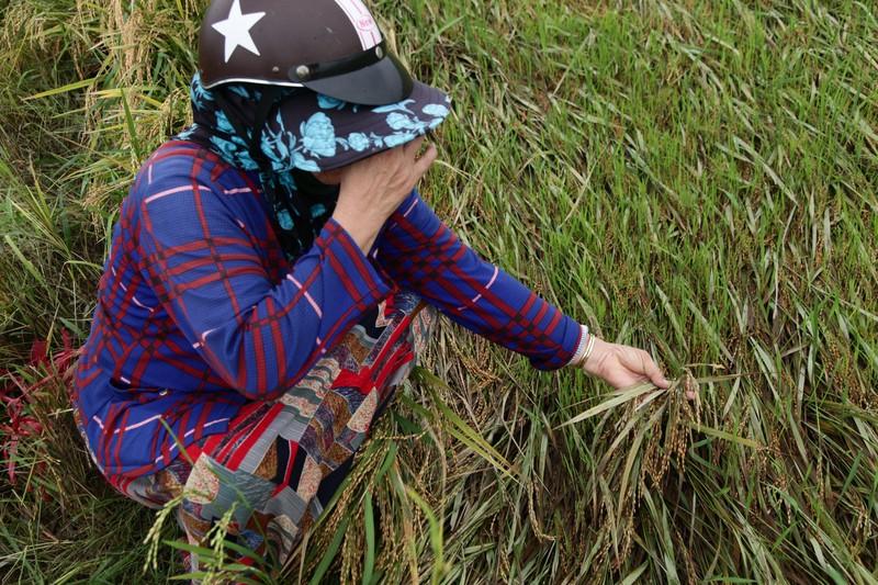 Ninh Thuận: Mưa lớn gây thiệt hại cho người trồng lúa - ảnh 2