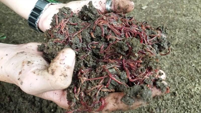 Giấc mơ phân trùn quế và nông nghiệp hữu cơ bền vững - ảnh 3