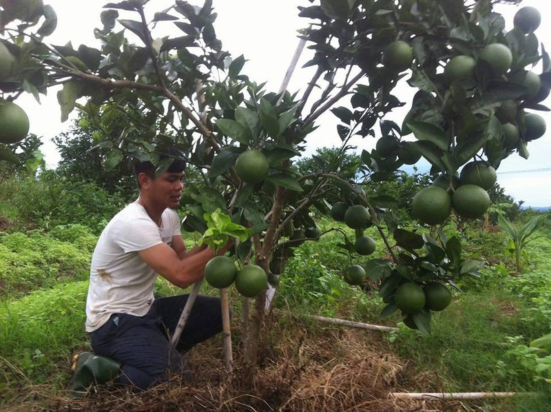 Hành trình trồng cam sạch của cô gái xứ Nghệ - ảnh 3