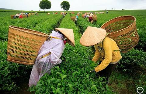 Tin đồn trà nhiễm dioxin và mưu thâm của DN Đài Loan, Trung Quốc - ảnh 1