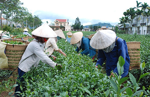 Đài Loan 'dội gáo nước lạnh', thị trường trà Việt lao đao - ảnh 1