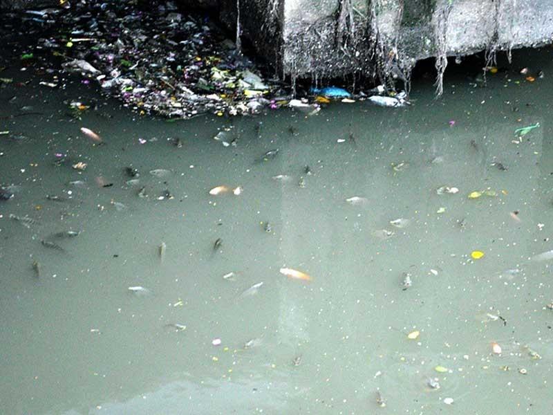 Cá ngoi đặc kênh Nhiêu Lộc - Thị Nghè - ảnh 1