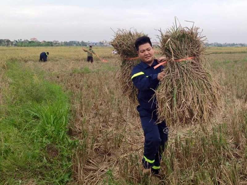 Gặt hết lúa trữ trong nhà tránh bão - ảnh 1