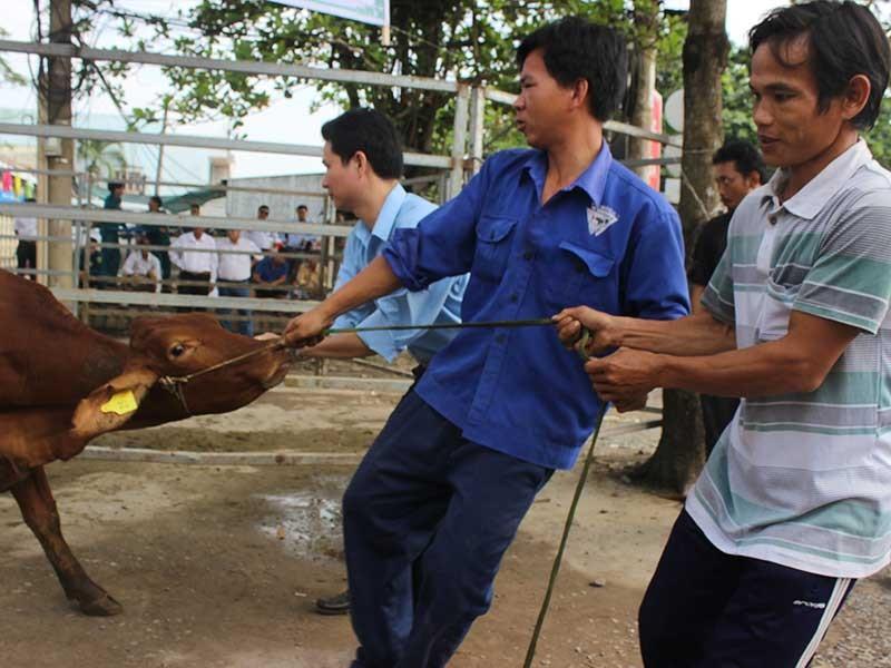 Hội Chữ thập đỏ TP trao tặng bò cho người nghèo - ảnh 1
