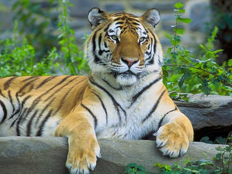 Đàn hổ quý hiếm lần đầu xuất hiện tại Thái Lan - ảnh 1