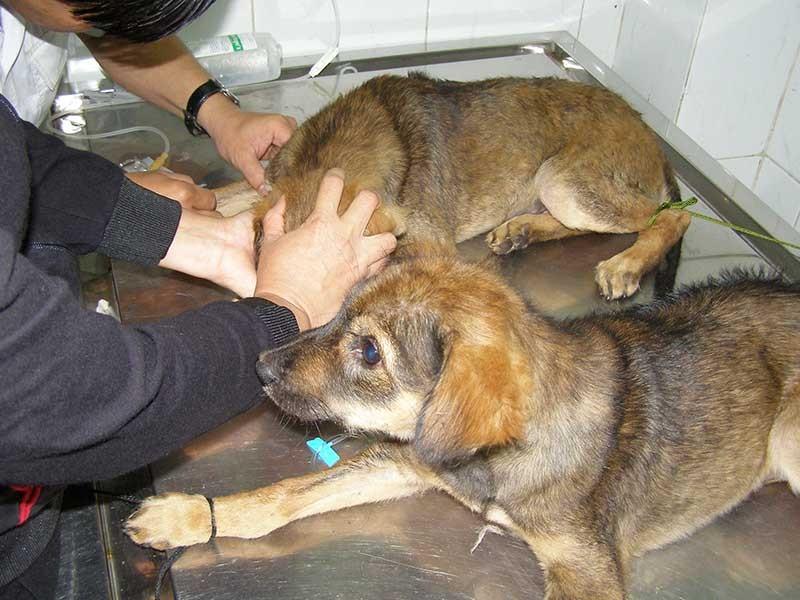 Chạy lòng vòng xét nghiệm bệnh chó dại - ảnh 1