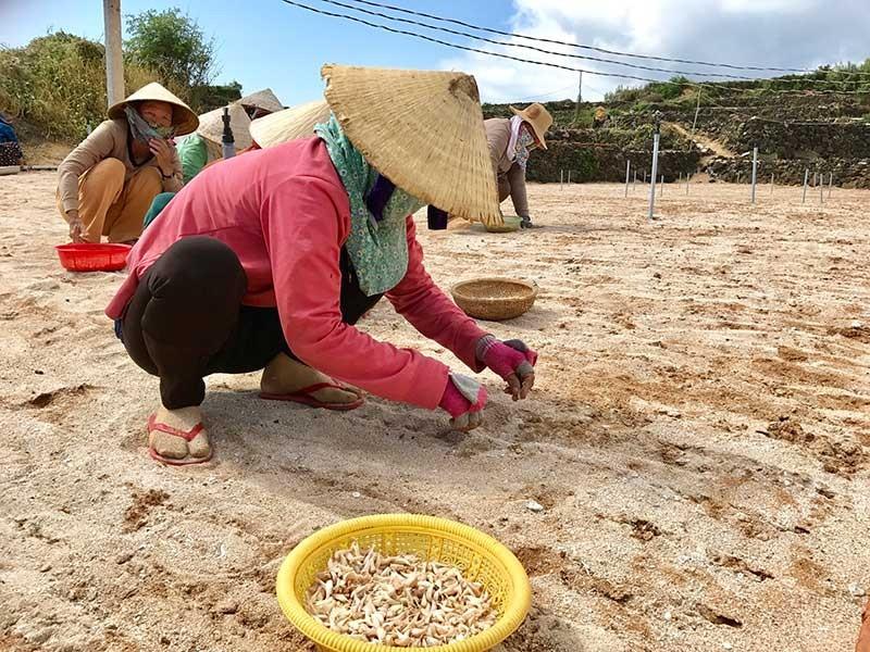 Người trồng tỏi Lý Sơn và nỗi lo thiếu cát trắng - ảnh 1
