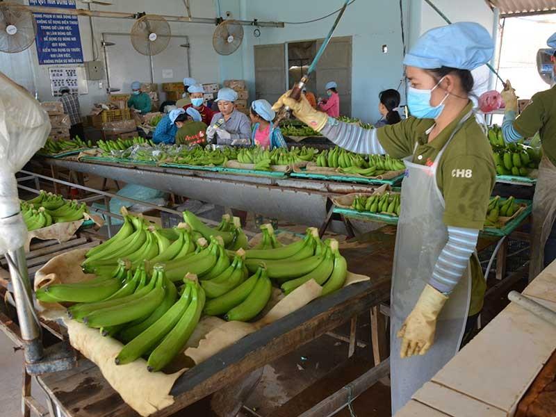 Nông sản Việt 'hái' tiền đô nhờ công nghệ Nhật - ảnh 1