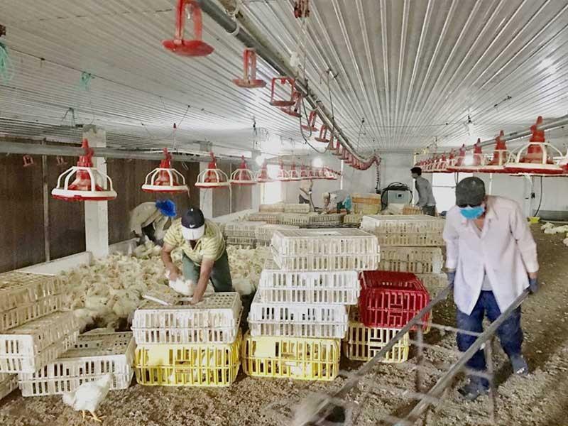 Trại gà không xuất khẩu được vì nằm gần… trại vịt - ảnh 1
