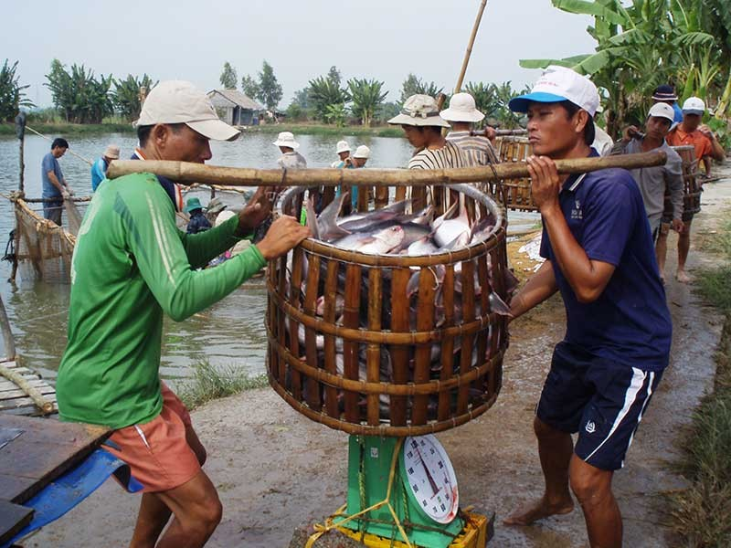 Thuế tăng sốc gần 10 lần, cá tra Việt hết đường sang Mỹ - ảnh 1