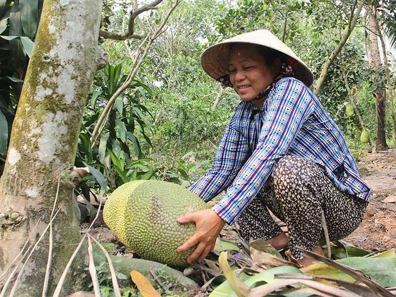 Trộm 'canh' vườn mít Thái - ảnh 1