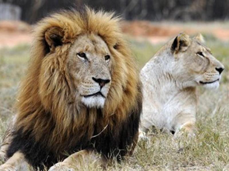 Nhóm người Việt tại Nam Phi bị bắt vì nghi giết 40 con sư tử - ảnh 1