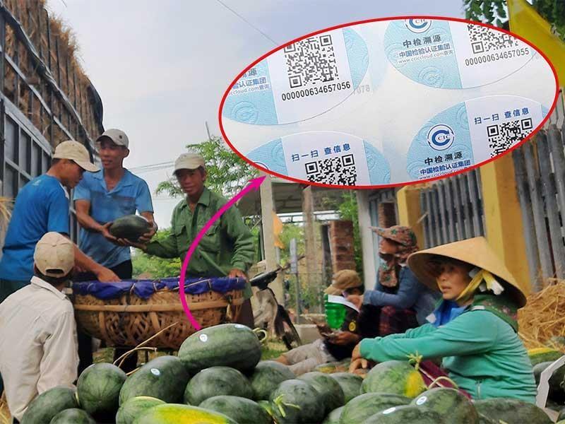 Dưa hấu Việt dán tem Trung Quốc là không sai - ảnh 1