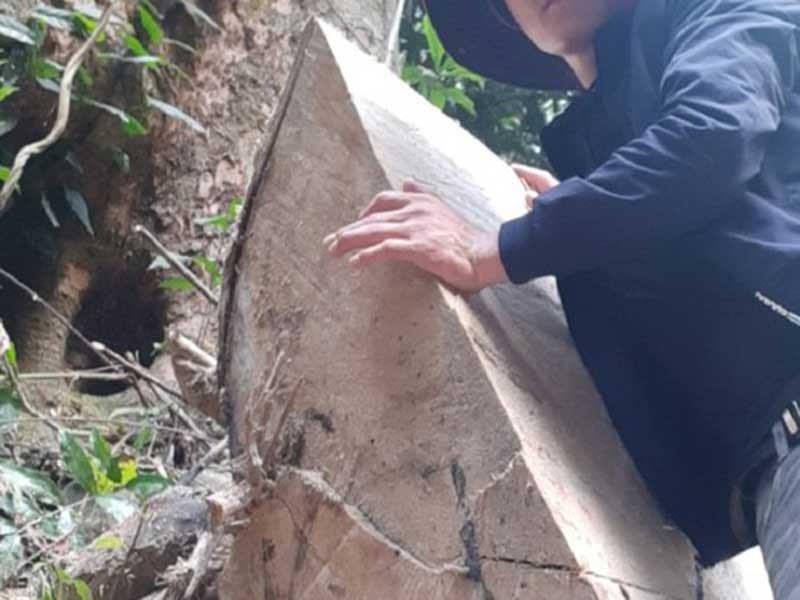 Gỗ khủng ung dung ra khỏi rừng đặc dụng - ảnh 1