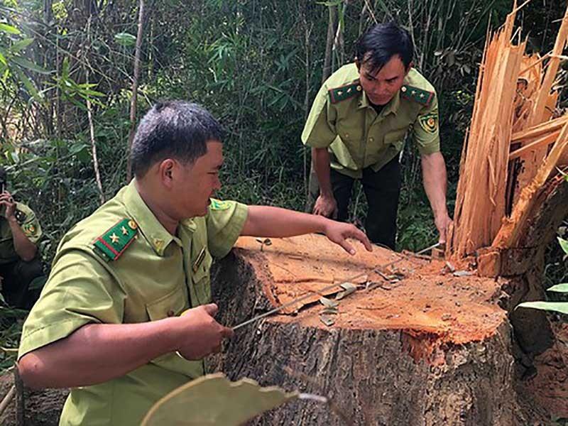 Gỗ khủng ở rừng đặc dụng: Công an, kiểm lâm vào cuộc - ảnh 1