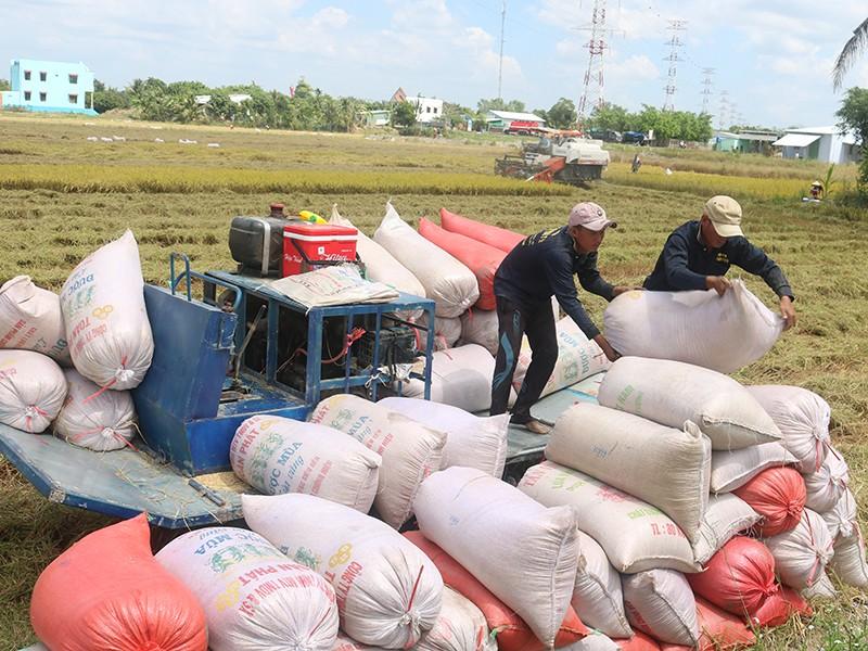Lúa bội thu, đề nghị cho xuất khẩu gạo trở lại - ảnh 1