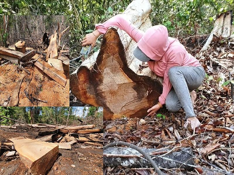 'Đại công xưởng' phá rừng ở Gia Lai - ảnh 1