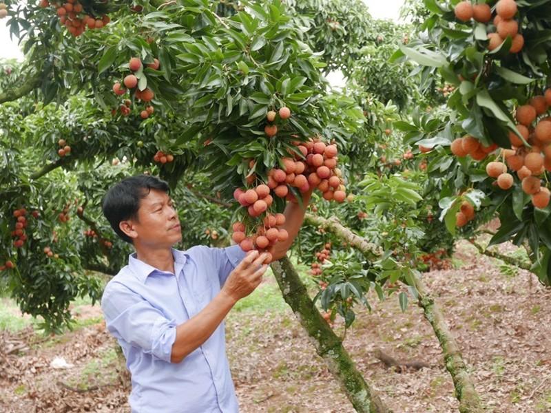 Thanh long, vải thiều Việt xuất sang Thái Lan tăng hơn 230% - ảnh 1