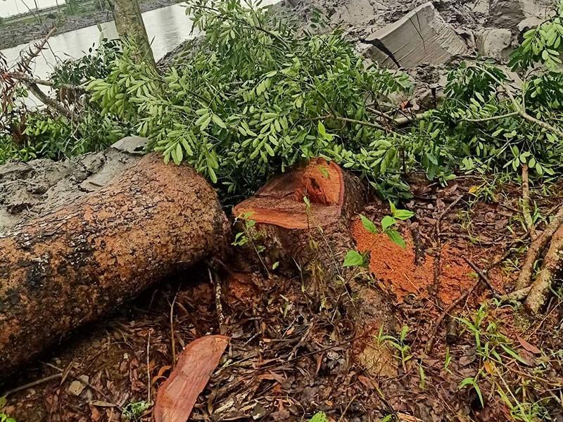 Pháp lý vụ xử phạt 'siêu tốc' người chặt cây xà cừ - ảnh 1