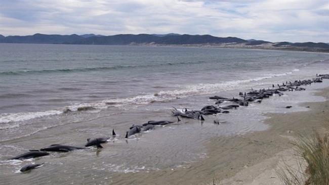 Gần 200 con cá voi mắc cạn ở bờ biển New Zealand - ảnh 1