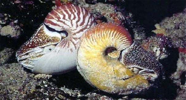 Sinh vật biển cổ đại 'tái xuất' sau 31 năm mất tích - ảnh 2