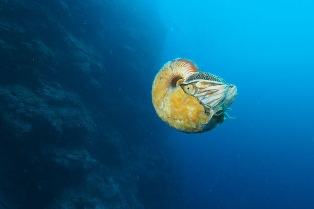 Sinh vật biển cổ đại 'tái xuất' sau 31 năm mất tích - ảnh 1
