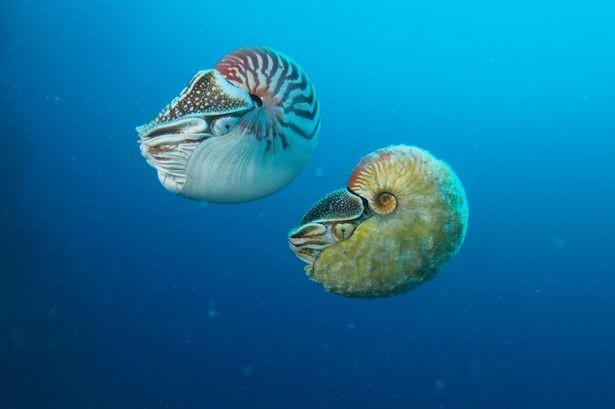 Sinh vật biển cổ đại 'tái xuất' sau 31 năm mất tích - ảnh 3