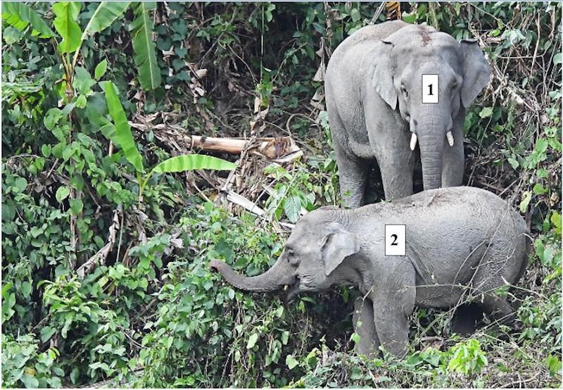 Phát hiện 1 voi con khoảng 1 tuổi - ảnh 2