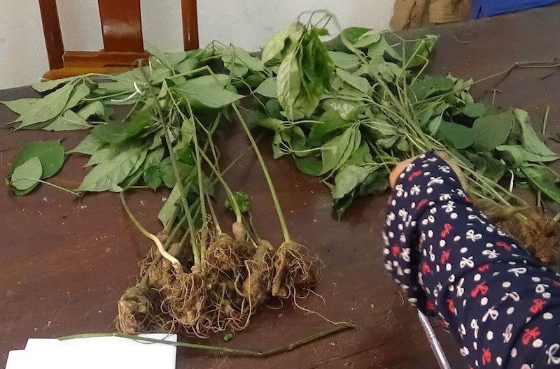 Nhổ trộm 74 cây Sâm Ngọc Linh về nhà trồng - ảnh 1