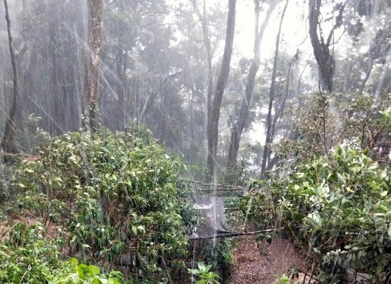 Quảng Nam: Mưa đá phá hỏng nhiều vườn Sâm Ngọc Linh - ảnh 3