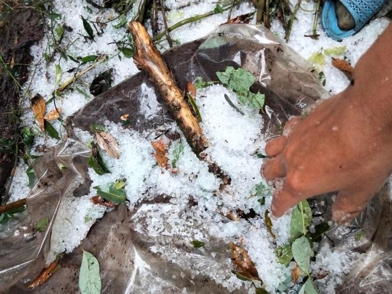 Quảng Nam: Mưa đá phá hỏng nhiều vườn Sâm Ngọc Linh - ảnh 4