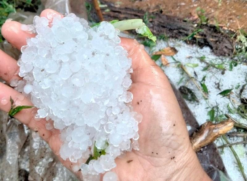 Quảng Nam: Mưa đá phá hỏng nhiều vườn Sâm Ngọc Linh - ảnh 2