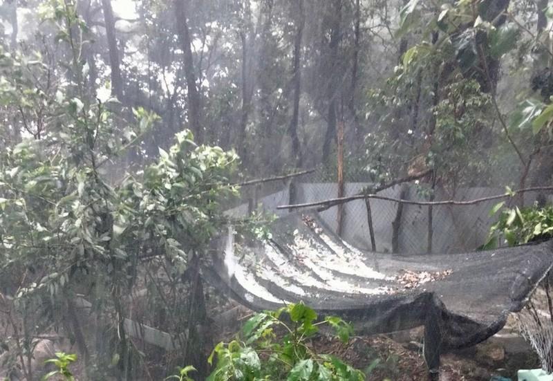Quảng Nam: Mưa đá phá hỏng nhiều vườn Sâm Ngọc Linh - ảnh 1