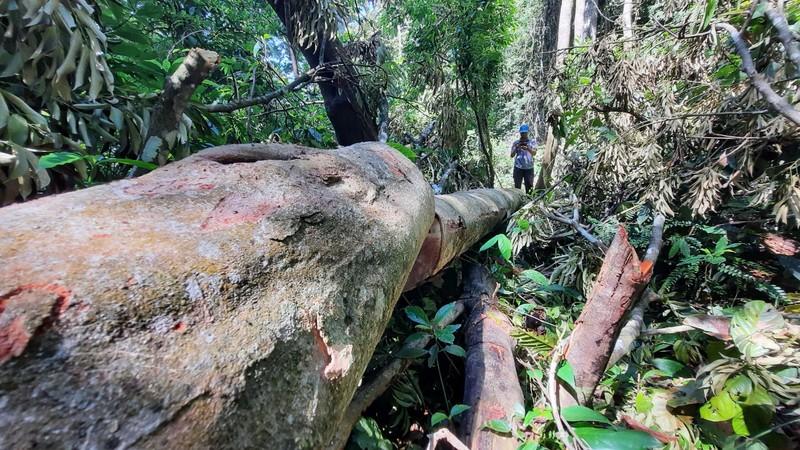 Quảng Nam yêu cầu điều tra vụ phá rừng phòng hộ tại huyện Bắc Trà My - ảnh 3