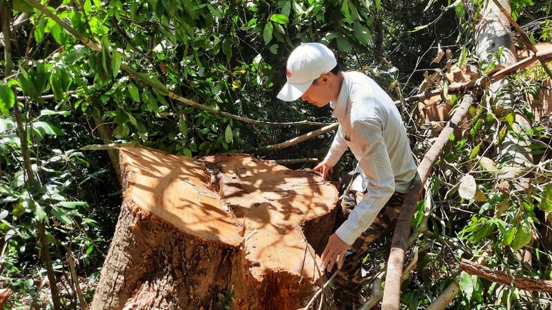 Quảng Nam yêu cầu điều tra vụ phá rừng phòng hộ tại huyện Bắc Trà My - ảnh 1