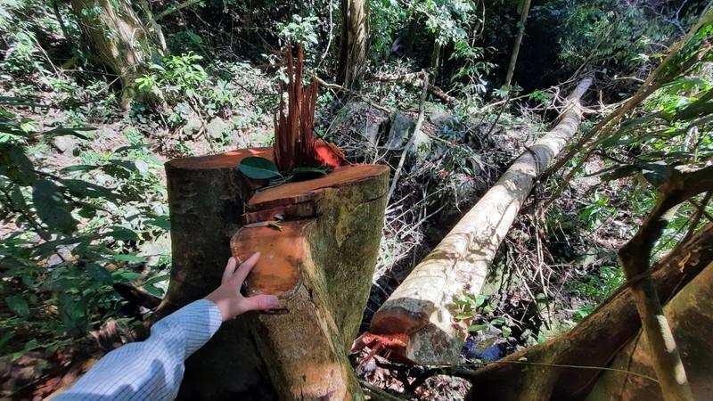 Quảng Nam yêu cầu điều tra vụ phá rừng phòng hộ tại huyện Bắc Trà My - ảnh 6