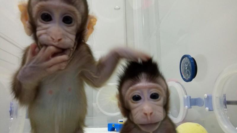 Trung Quốc nhân bản vô tính khỉ thành công - ảnh 1