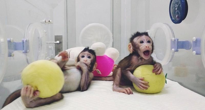 Trung Quốc nhân bản vô tính khỉ thành công - ảnh 2