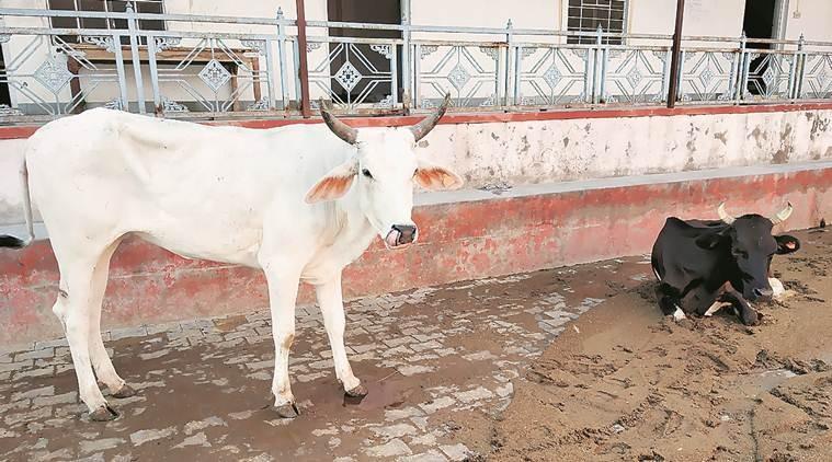 Ấn Độ: Đến lượt bò mang thai bị thương do ăn bột trộn thuốc nổ - ảnh 1