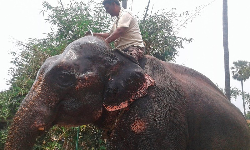 Một người Ấn Độ sửa di chúc, để lại đất đai cho 2 con voi - ảnh 1