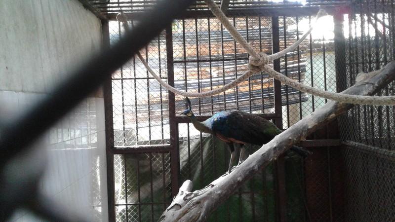 Thảo cầm viên Sài Gòn chờ người nhận lại chim công quý  - ảnh 1