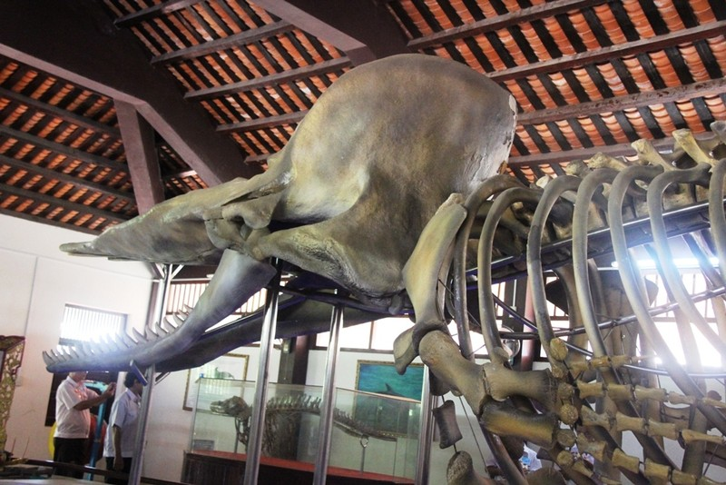 Ngắm bộ xương cá voi khủng trên đảo Phú Quý - ảnh 6