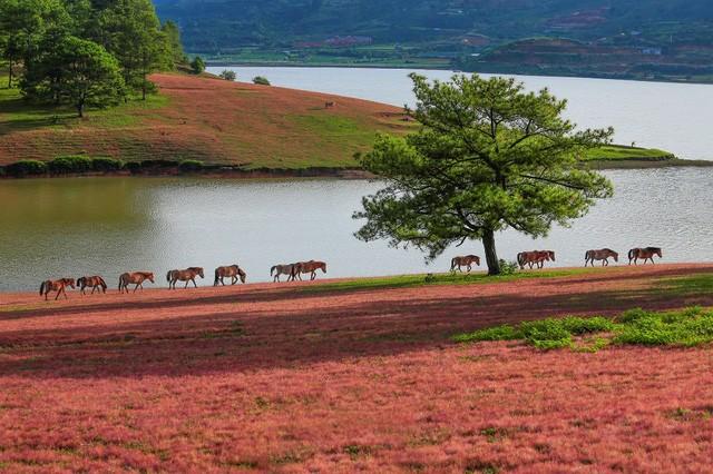 Chiêm ngưỡng mùa cỏ hồng đẹp như tranh vẽ ở Đà Lạt - ảnh 1