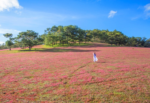 Chiêm ngưỡng mùa cỏ hồng đẹp như tranh vẽ ở Đà Lạt - ảnh 3