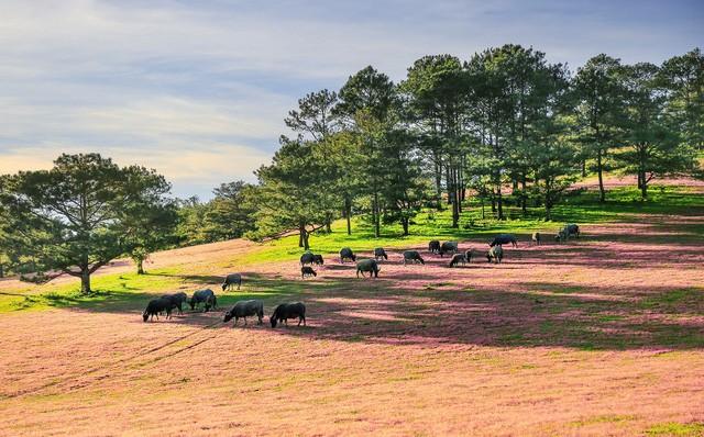 Chiêm ngưỡng mùa cỏ hồng đẹp như tranh vẽ ở Đà Lạt - ảnh 4